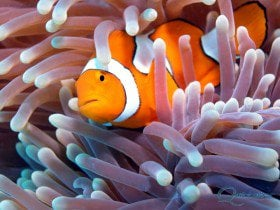 Clownfish closeup