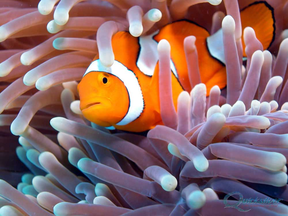 Clownfish closeup